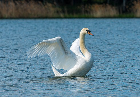 swan-5094368__340